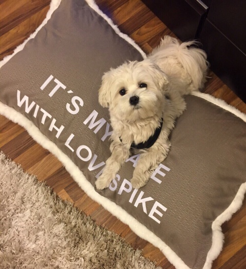 Malteser-Prinz Spike hat seinen Thron eingenommen Hundethron Hundekissen